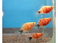 Tropical Fish - Tiger Platy