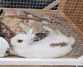 White Female Bunny