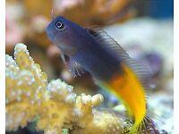 MARINE FISH / NICE LITTLE BI COLOUR BLENNY