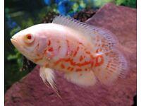 OSCARS CICHLID TROPICAL FISH