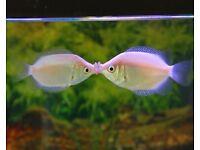 KISSING GOURAMI TROPICAL FISH