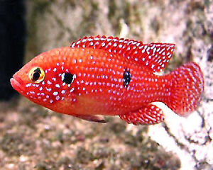 Variety of Cichlids, Adult and Juvnile, 10 kinds, from $2 / each