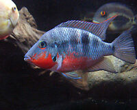Male Firemouth Cichlid