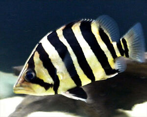 Indonesian tiger fish (Datnoid Microlepis)