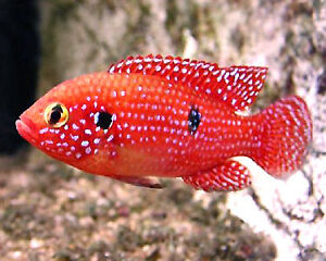 Trade or Buy:Adult Male Demasoni and male Red Jewel cichlid