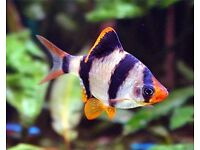 tiger barb fish for sale