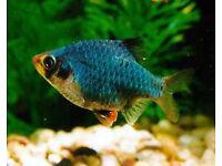 4 green barbs tropical fish