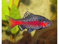 Superbly Colourful Odessa ~ life in any Community tropical fish tank, excellent addition.Characters.