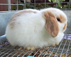 Holland Lop Baby Doe