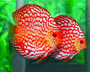 BEAUTIFUL DISCUS ON SPECIAL $60.00