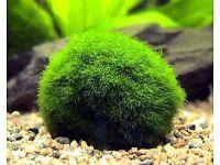 Moss Balls for sale