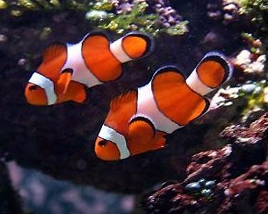 2 Clown Fish For Sale.