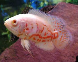 TIGER OSCARS TROPICAL FISH