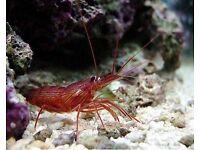 Peppermint shrimp. Marine aquarium fish tank