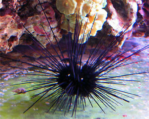Black longspine Urchin - Trade or sale
