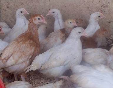 PULLETS 7 weeks old Vaccinated 3/4 Leghorns Herne Hill Swan Area Preview