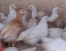 Pullets  8 weeks old Sexed 3/4 Leghorn girls Herne Hill Swan Area Preview