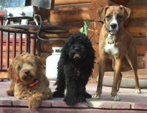 ***8 Cockapoo pups for sale!! *** Only one black femal left!!***
