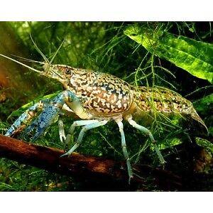 LIVE-SELF-CLONING-BABY-MARBLE-CRAYFISH-So-Cute-Freshwater-Aquarium-crawdad