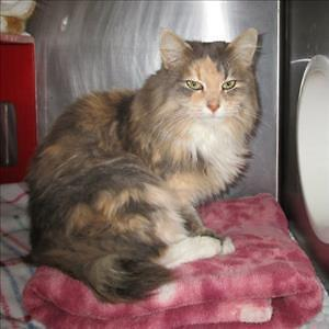 "Adult Female Cat - Domestic Long Hair: ""Titanium"""