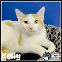"""Young Male Cat - Domestic Short Hair: """"Kelly*"""""""