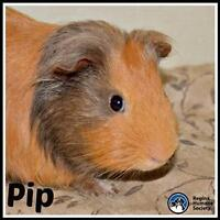"Adult Male Small & Furry - Guinea Pig: ""Pip"""