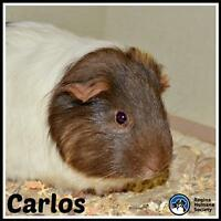 "Adult Male Small & Furry - Guinea Pig: ""Carlos*"""