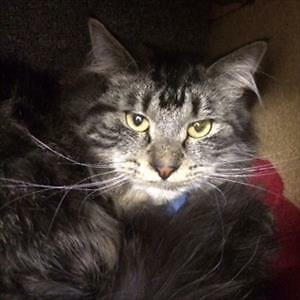 """Young Male Cat - Domestic Long Hair: """"Geno"""""""