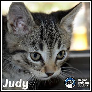 "Baby Female Cat - Domestic Short Hair: ""Judy*"""