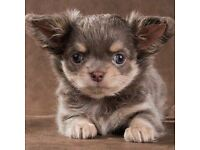 Long coat Chihuahua female with pedigree