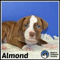 "Baby Male Dog - American Staffordshire Terrier: ""Almond*"""