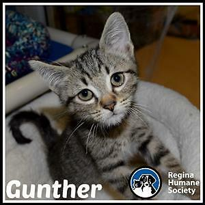 "Baby Male Cat - Domestic Short Hair: ""Gunther*"""