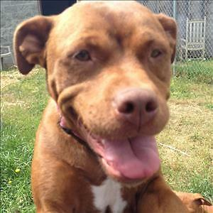 "Adult Female Dog - Pit Bull Terrier-Boxer: ""Miley"""