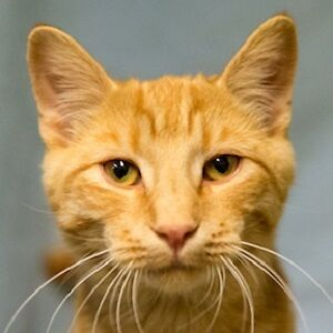 Meow Foundation's cutie Teller looking for purrfect home!