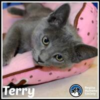 """Baby Male Cat - Domestic Short Hair: """"Terry*"""""""