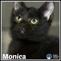 "Baby Female Cat - Domestic Short Hair: ""Monica*"""