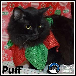 "Adult Male Cat - Domestic Medium Hair: ""Puff"""