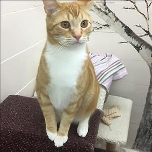 "Adult Male Cat - Domestic Short Hair: ""Jack"""