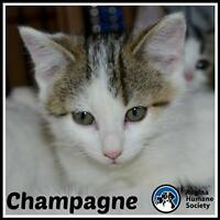 """Baby Male Cat - Domestic Short Hair: """"Champagne"""""""