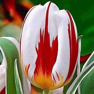 Canada 150th Tulip Bulbs Kitchener / Waterloo Kitchener Area image 2