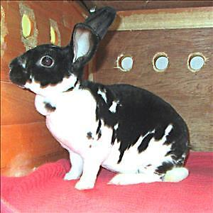 "Young Female Rabbit - Rex: ""Cora"""