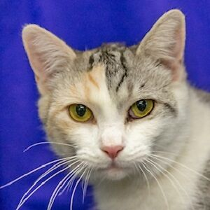 Meow Foundation's mellow Maribel looking for her purrfect match!