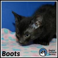 """Baby Female Cat - Domestic Short Hair: """"Boots*"""""""