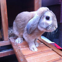 Holland lop bunny FREE to good home