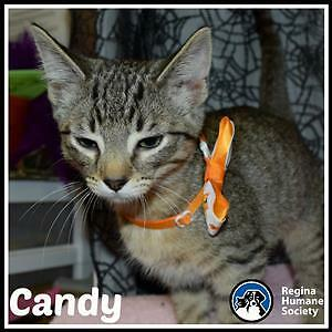 "Baby Female Cat - Domestic Medium Hair: ""Candy*"""