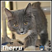 "Baby Female Cat - Domestic Medium Hair: ""Therru*"""