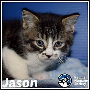 "Baby Male Cat - Domestic Short Hair: ""Jason*"""