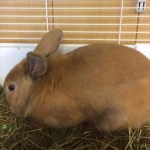 "Young Male Rabbit - Lionhead: ""Bobby"""