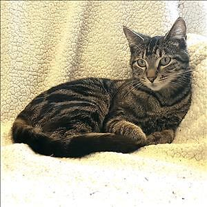 "Adult Female Cat - Domestic Short Hair: ""Kitty"""
