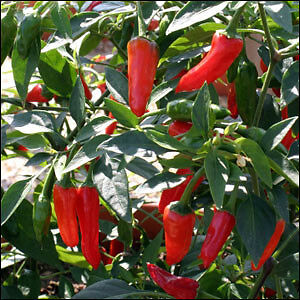 Rare Apache Hot Peeper Seeds! Peterborough Peterborough Area image 3